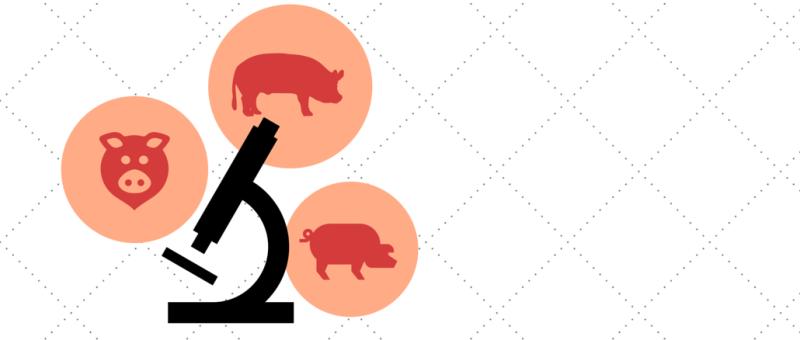lymphie-life-biobridge-research-pigs