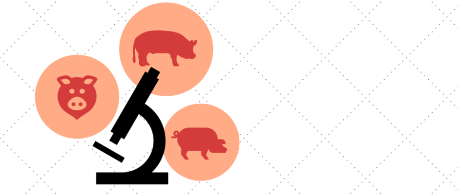lymphie-life-biobridge-research-pigs